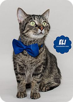 Domestic Shorthair Cat for adoption in Wyandotte, Michigan - Eli