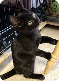 Domestic Shorthair Kitten for adoption in Island Park, New York - Regan- Polydactyl