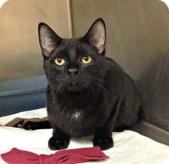 Domestic Shorthair Kitten for adoption in Triadelphia, West Virginia - H-5