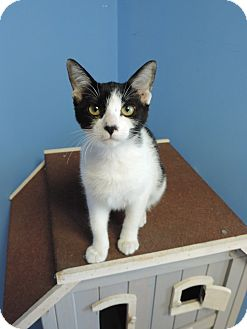 Domestic Shorthair Cat for adoption in Brookings, South Dakota - Hilde Palladino