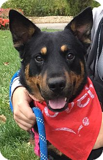 Cattle Dog/German Shepherd Dog Mix Dog for adoption in New Albany, Ohio - Reece