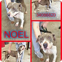 Bulldog/American Staffordshire Terrier Mix Dog for adoption in Kenansville, North Carolina - NOEL