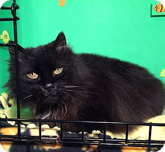 Domestic Longhair Cat for adoption in Lombard, Illinois - Lady