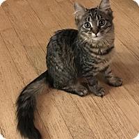 Adopt A Pet :: Sioux - Rochester Hills, MI