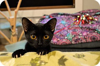 Domestic Shorthair Cat for adoption in St. Charles, Missouri - Fuji