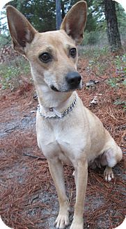 Feist Mix Dog for adoption in Forked River, New Jersey - Lorraine