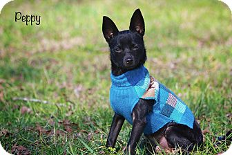 Chihuahua Mix Dog for adoption in Wilmington, Delaware - Peppy