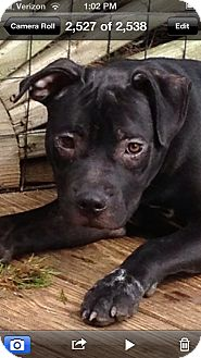 American Pit Bull Terrier/Boxer Mix Puppy for adoption in Pittsburgh, Pennsylvania - Jangle