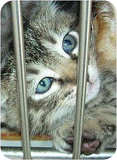 American Shorthair Kitten for adoption in Harbor City, California - Downey Kittens