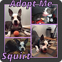 Adopt A Pet :: Squirt - Cheney, KS
