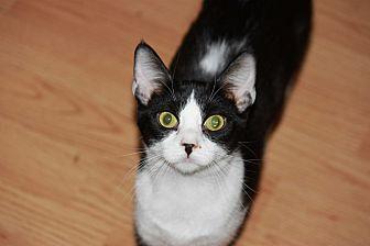 Domestic Shorthair Kitten for adoption in Mesa, Arizona - Frieda