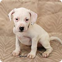 Adopt A Pet :: Guage - Needs Foster - Bloomington, MN