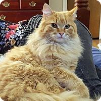 Adopt A Pet :: Gingerbread - Arlington/Ft Worth, TX