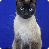 Siamese Cat for adoption in Wichita, Kansas - Grayson