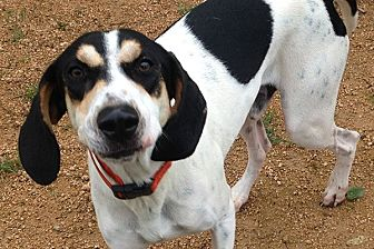 Hound (Unknown Type)/Treeing Walker Coonhound Mix Dog for adoption in Durham, North Carolina - Sweet Boy Bernie