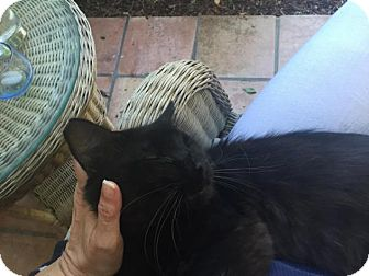 Domestic Mediumhair Cat for adoption in Sacramento, California - Mykonos