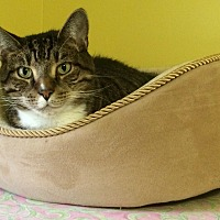 Domestic Shorthair Cat for adoption in Medway, Massachusetts - Herbie