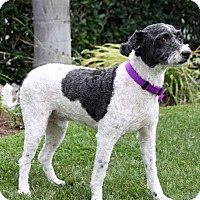 Poodle (Miniature) Mix Dog for adoption in Newport Beach, California - JENNINGS