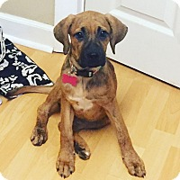 Boxer/Labrador Retriever Mix Puppy for adoption in Brattleboro, Vermont - Abby