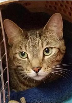 Domestic Shorthair Cat for adoption in Freeport, New York - Maggie