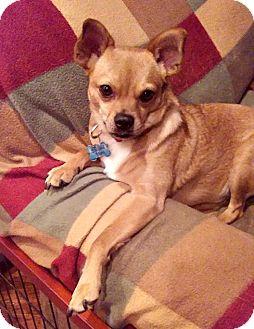 Chihuahua/Pug Mix Dog for adoption in Mount Ida, Arkansas - Sonny