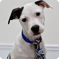 Pit Bull Terrier Mix Puppy for adoption in Picayune, Mississippi - Cognac