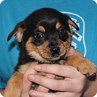 Adopt A Pet :: Baby Comet - Potomac, MD