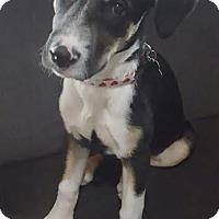 Adopt A Pet :: Fancy Pants - Houston, TX