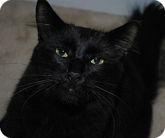 Domestic Mediumhair Cat for adoption in Waxhaw, North Carolina - Stanley