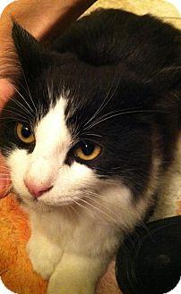 Domestic Mediumhair Kitten for adoption in Brea, California - Moo Moo