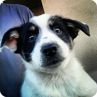 Australian Cattle Dog/Cavalier King Charles Spaniel Mix Puppy for adoption in Scottsdale, Arizona - Ernie