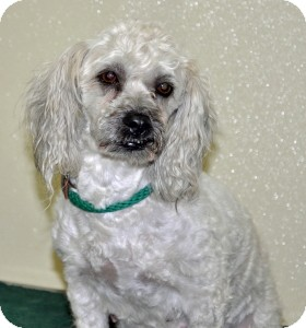 Poodle (Miniature) Mix Dog for adoption in Port Washington, New York - Lucky