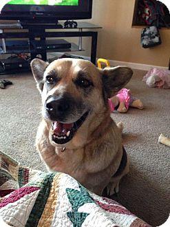 German Shepherd Dog/Corgi Mix Dog for adoption in Hockessin, Delaware - Princess