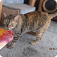 Domestic Shorthair Cat for adoption in Conway, South Carolina - Tigress