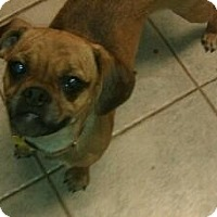 Adopt A Pet :: Rosemary - cute puggle! - Phoenix, AZ