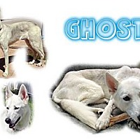 Adopt A Pet :: Ghost - Seminole, FL