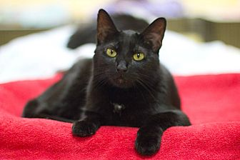 Domestic Shorthair Cat for adoption in Grayslake, Illinois - Merek