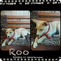 Adopt A Pet :: Roo in CT - Manchester, CT