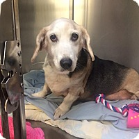 Beagle/Basset Hound Mix Dog for adoption in Oak Ridge, New Jersey - Missy-Homeless at 14:(