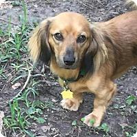 Dachshund/Cocker Spaniel Mix Dog for adoption in Pearland, Texas - Curtis