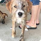 Adopt A Pet :: Maple = adoption pending