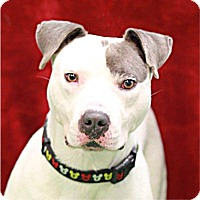 Adopt A Pet :: Bojangles - South Haven, MI