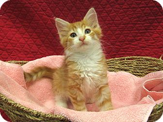 Domestic Longhair Kitten for adoption in Redwood Falls, Minnesota - Nona