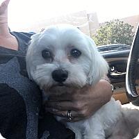 Adopt A Pet :: Bianco - Las Vegas, NV