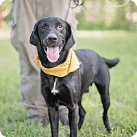 Labrador Retriever Mix Dog for adoption in Houston, Texas - Moshe