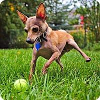 Adopt A Pet :: Mazzo - Hamilton, ON