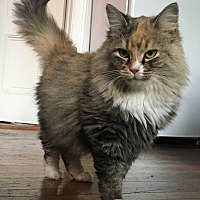 Domestic Longhair Cat for adoption in Cumberland and Baltimore, Maryland - Calliope