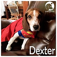 Adopt A Pet :: Dexter - Novi, MI