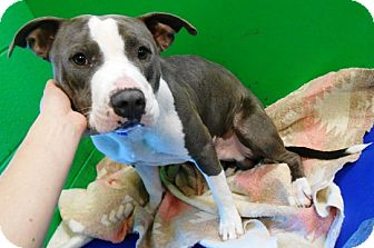 Pit Bull Terrier Mix Dog for adoption in Redding, California - Chopper