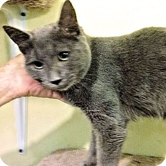 Domestic Shorthair Kitten for adoption in Norristown, Pennsylvania - Clear